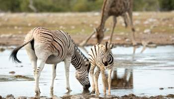{IMAGE_CAPTION} / 020-Namibia-Zebra.jpg