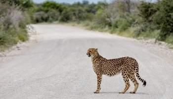 {IMAGE_CAPTION} / 027-Namibia-Gepard.jpg